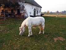 Pony 1. Small horse old house stable pasture grassland grazing Stock Images