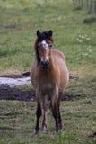 Pony. Small swedish pony called russ Stock Photography