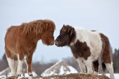 Pony Smooch Royalty Free Stock Photography