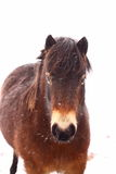 Pony in snow A Royalty Free Stock Photos