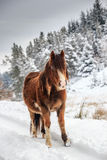 Pony in the snow. A wild mountain pony in a snow and tree covered rural winter landscape royalty free stock photography