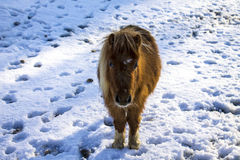 Pony in the snow Royalty Free Stock Image