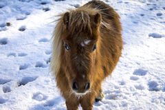 Pony in the snow Royalty Free Stock Images
