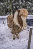 Pony in snow weather Royalty Free Stock Image