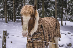 Pony in snow weather Royalty Free Stock Images