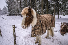 Pony in snow weather Royalty Free Stock Photo