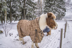Pony in snow weather Royalty Free Stock Photography