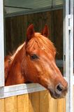 Pony in stable. Portrait of a brown female pony in stable Royalty Free Stock Photo