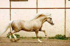 Pony stallion. Palomino welsh pony stallion galloping Royalty Free Stock Photos