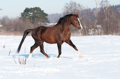 Pony Stallion Brown-Waliser im Winter Stockbild