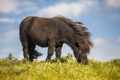 Pony Royalty Free Stock Photography