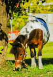 Pony standing under a tree and eats green grass Royalty Free Stock Images