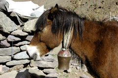 Pony Sunbathing de l'Himalaya Photographie stock