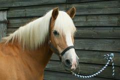 Pony tailed Stock Photo