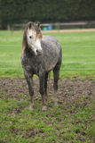 Pony on typical autumn pasturage Royalty Free Stock Photo