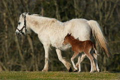 Pony und Fohlen Stockbilder