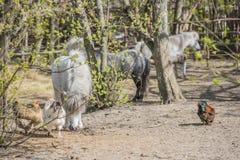 Pony und Huhn auf dem Bauernhof Lizenzfreie Stockfotografie