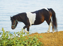 Pony walking on the ground next to a green bush on the background of the sea Stock Photography