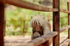 Pony with white mane Stock Photography