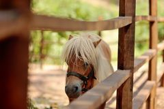 Pony with white mane. At the zoo behind a wooden fence stands with white mane pony Royalty Free Stock Photos