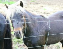 Pony with white mane standing by a wire fence Stock Photos