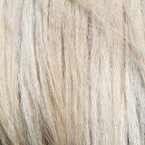 Pony white mane. Textured fur, image taken at animal farm Royalty Free Stock Photos