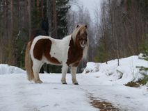 Pony in the winter forest Royalty Free Stock Photography