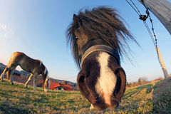 A pony in the worm's-eye view. Looks directly in camera Stock Photography