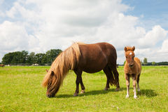 Pony and young foal in the meadows Royalty Free Stock Photo