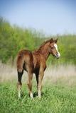 Ponyfohlen Stockfotografie