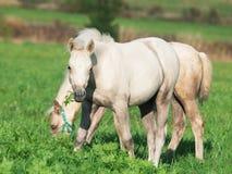 Ponyfohlen Cremello Waliser in der Weide Lizenzfreies Stockfoto