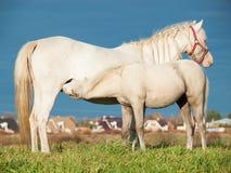 Ponyfohlen, das Mutter in der Weide isst Freiheit Lizenzfreie Stockbilder
