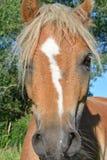 Ponyhead Royalty-vrije Stock Afbeeldingen