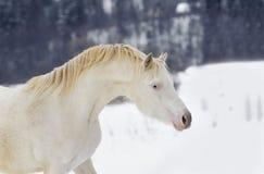 Ponyhengst Perlino Waliser im Schneeporträt Stockbild