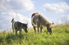Ponypferdestute mit Jungem Lizenzfreies Stockbild