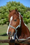 Ponyporträt Lizenzfreie Stockbilder