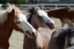Ponys, die draußen in der Weide spielen Lizenzfreie Stockfotografie