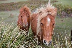 Ponys in Padock Stockbild