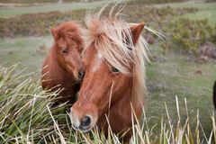 Ponys in Padock Lizenzfreie Stockfotos