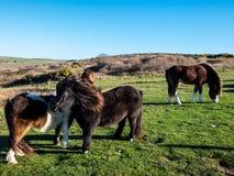 Ponys que pasta no campo foto de stock