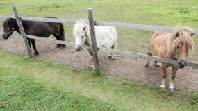 Ponys. Three Adorable small pony portrait in farm Stock Photos