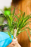 Ponytail palm houseplant Royalty Free Stock Photos
