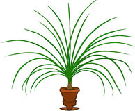 Ponytail Palm Royalty Free Stock Images