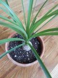 Ponytail Palm Tree. Stock Photos