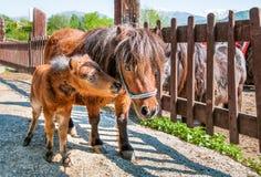 Ponywelpe mit Mutter Stockfotografie