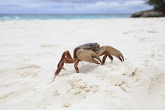 Poo在tachai海岛similan国家白色沙子海滩的kai螃蟹  免版税库存照片
