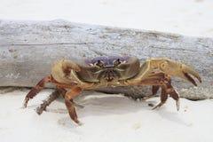 Poo在tachai海岛similan国家白色沙子海滩的kai螃蟹 免版税库存图片