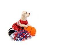 poo баскетбола шелковистое Стоковые Фотографии RF