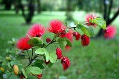 Poo chom波尔布特,泰国植物,泰国花,泰国 图库摄影