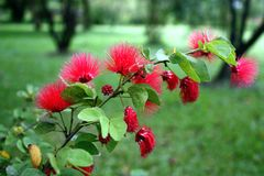 Poo chom pol., Thaise installaties, Thaise bloemen, Thailand Stock Fotografie